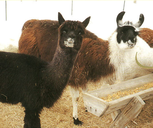 Natural animal fibers--alpaca